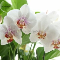 Rare Mixed Colorful Phalaenopsis Amabilis Butterfly Orchid, 100 seeds, fragrant attract butterflies light up your garden E3692