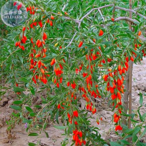 Us 9 99 Bellfarm Chinese Wolf Berry Lycium Chinense Herb Tree