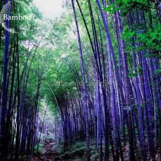 Rare Purple Bamboo, 30 Seeds, beautiful outdoor garden perennial plants seeds, light up your garden E3579
