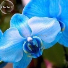 Blue Butterfly Orchid Seeds, 100 seeds, fragrant pretty light up garden E3601
