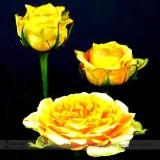 Heirloom 'Euro Tri' Yellow Rose Shrub Flower Seeds, Professional Pack, 50 Seeds / Pack, Light Fragrant Flowers E3308