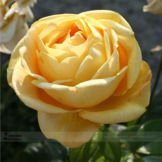 Double Yellow Rose Flower Seeds, Professional Pack, 50 Seeds / Pack, Strong Fragrant Rose #LG00037