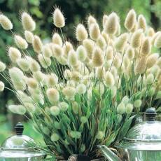 100% Genuine Lagurus Ovatus Bunny Hare's Tails Grass, 100 Seeds, heirloom rabbit ornamental grass E3540