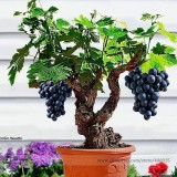 Heirloom Xinjiang Sweet  Black Grape F1 Seeds, Professional Pack, 15 Seeds / Pack, Delicious Living Room Plants Seeds E3086