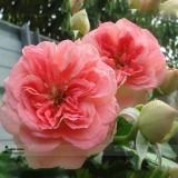 Double Pink F1 Flower Seeds, Professional Pack, 50 Seeds / Pack, Light Fragrant Rose #LG00038