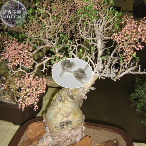 Us 9 99 Bellfarm Pachycormus Discolor Elephant Tree Bonsai Seeds 5 Seeds Professional Pack Torote Blanco Perennial Tree M Deargogo Com