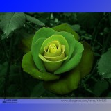 Rare Dark Green Light Green Rose Plant Flower Seeds, Professional Pack, 50 Seeds / Pack, Strong Fragrant Flowers E3270
