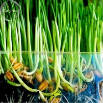 Sussex grown sweet Oat Grass seeds for Cats and other Pets, 50 seeds, very interesting pet grass E3953