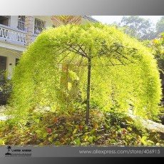 Rare Tianshan Umbrella Bamboo Perennial Evergreen Plants 10 Seeds