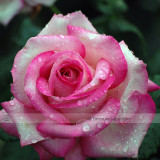 1 Professional Pack, 50 seeds / pack, Red Pink Rose Flowers Seed #NF416