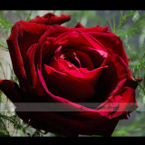 1 Professional Pack, 50 seeds / pack, Thin Leaves Blood Red Flowers Rare Heirloom Rose Flower Seed #NF419