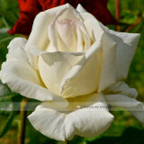 1 Professional Pack, 50 seeds / pack, Yunnan White Rose Seed #NF421