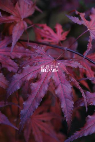 Us 1 59 Bellfarm Purple Ghost Japanese Maple Ornamental Tree