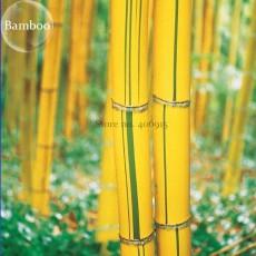 Phyllostachys Viridis 'Sulfurea' Yellwo Green Striped Bamboo, 30 seeds. ornamental garden plants E3827
