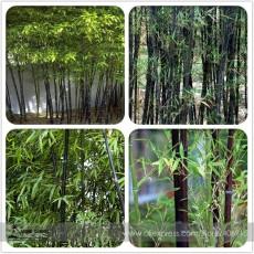 Rare Taihang Black Bamboo Seeds 35+