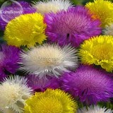 Rare Beautiful Colorful Cornflower Flowers, 50 Mixed Seeds, nice centaury light up garden flowers E3711