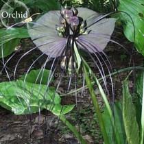 Rare 'Cat Face Beard' Black Orchid Perennial Flowers, 10 seeds, attractive light up garden E3595