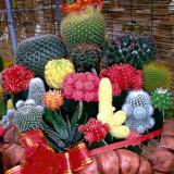 BELLFARM Mix Cactus Echinopsis Tubiflora Ball Cactus Perennial Succulent Plants Bonsai 'Seeds' Heirloom Great for Garden Home
