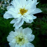 Double Click Snow Puff Cosmos. 50 Seeds. big blooms perfect for cutting E3919