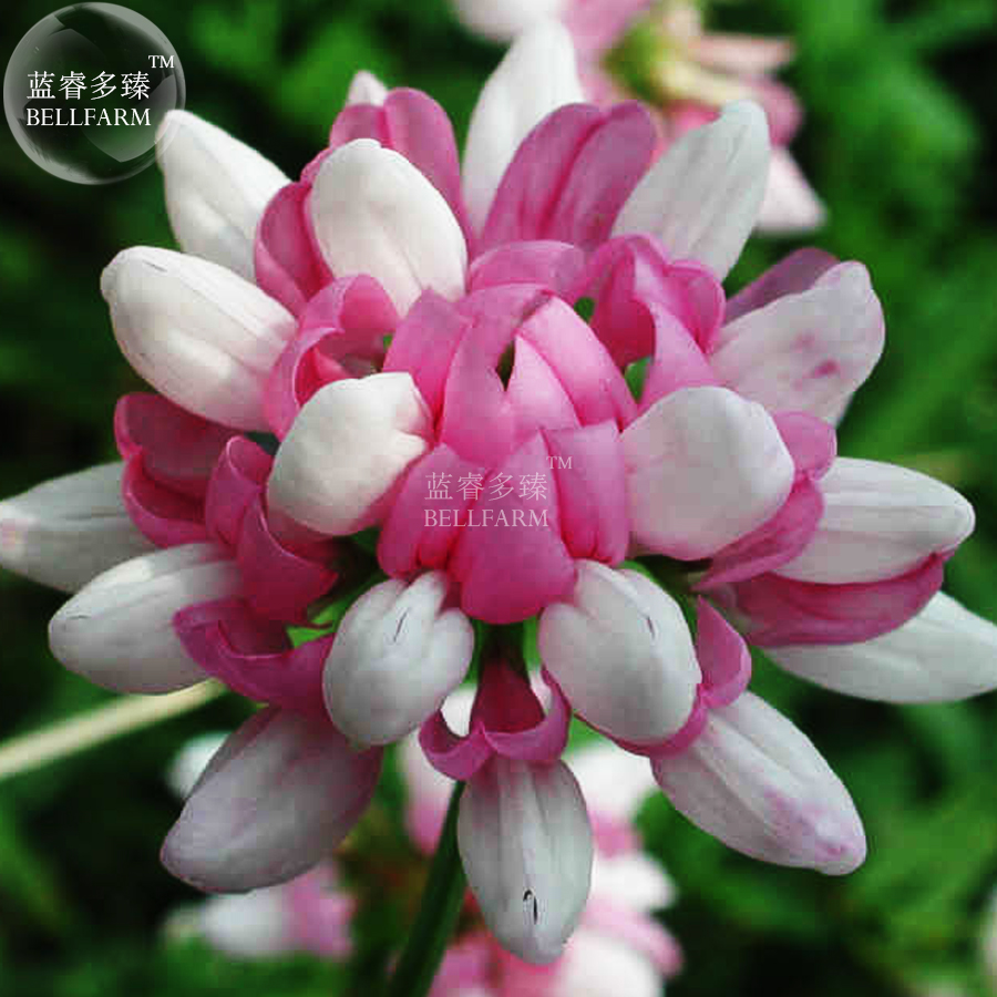 Us 1 bellfarm coronilla varia heirloom bonsai flowers 50seeds bellfarm coronilla varia heirloom bonsai flowers 50seeds long lasting blooming flowers crown vetch for home garden item no a086 izmirmasajfo