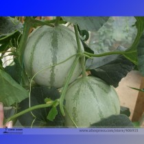 Rare Canadian Heirloom Oka Melon Bizard Island Strain Cucumis Melo Seeds, Professional Pack, 20 Seeds / Pack, Sweet Muskmelon