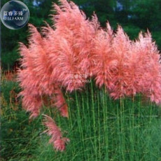 BELLFARM Imported Pink Pampas Grass Cortaderia selloana, 20 seeds, 100% real ornamental grass seeds E4268