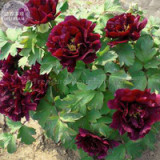 'Wizths Black' Peony Seeds, 5 seeds, professional pack, a must for loving big blooms dark purple flowers E4108