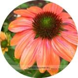 Cheyenne Spirit Orange Echinacea Perennial Coneflower Seeds, Professional Pack, 200 Seeds / Pack, Very Beautiful New Seeds