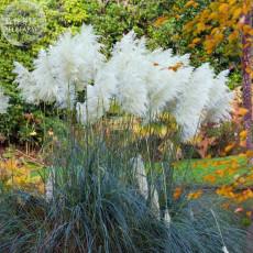 BELLFARM Organic White Pampas Grass Cortaderia selloana, 20 seeds, 100% real ornamental grass seeds E4270