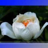 Rare White Peony Flower 'Bai Niang Zi' Seeds, Professional Pack, 5 Seeds / Pack, Light Fragrant Peony #NF650