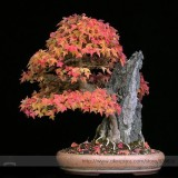 Bonsai Trident Maple Seeds, Professional Pack, 20 Seeds / Pack, Japanese Hybrid Maple #NF928