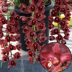 Rare Wild Orchids Dark Red Colors Perennial Flowers, 100 Seeds, light fragrant indoor potted landscape E3627