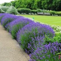 Nature Fresh Beautiful Purple Lavender, 100 Seeds, improve the environment attract butterflies light up garden E3606