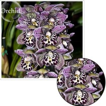 Rare Beautiful Butterfly Orchid Flowers, 100 Seeds, fragrant attract the butterfly light up garden E3614