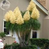 BEAUCARNEA recurvata Ponytail Palm, 5 Seeds, bonsai garden plants  E3770