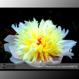 Rare 'Spring Coming' White Yellow Peony Seedlings Flower Seeds, Professional Pack, 5 Seeds / Pack, Very Beautiful Fragrant E3356