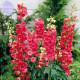BELLFARM Delphinium Ajacis Red Perennial Flower Seeds, 100 seeds, professional pack, larkspur home gardem flowers