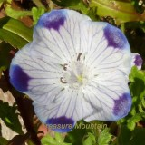 1 Professional Pack, 50 seeds / pack, Five Spot Nemophila maculata Eye-Catching Ground Cover #NF229