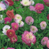 Poppy Shirley Double Mix Seeds, 100 Seeds, Professional Pack, heirloom big blooms different colors E4087