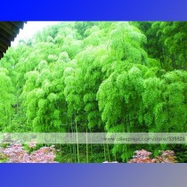 1 Professional Pack, approx 35 Seeds / Pack, Moso Bamboo Seeds Phyllostachys Pubescens Giant Mao Bamboo #NF347