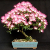 1 Professional Pack, 100 seeds / pack, Albizia Julibrissin Mimosa Bonsai Persian Pink Silk Blossoms Tree Seeds #NF234