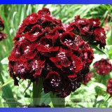 Heirloom Dianthus Dark Red Sweet William Annual Flower Seeds, Professional Pack, 200 Seeds / Pack E3309