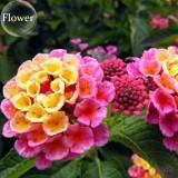Pink Yellow Lantana Camara Perennial Flowers, 10 Seeds, 'Christine' Shrub Verbenas Ham And Eggs Butterfly Garden E3802