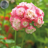 BELLFARM Geranium 'Apple Blossom Rosebud' Seeds, Professional Pack, 10 Seeds, perennial big blooms perennial pelargonium E4215