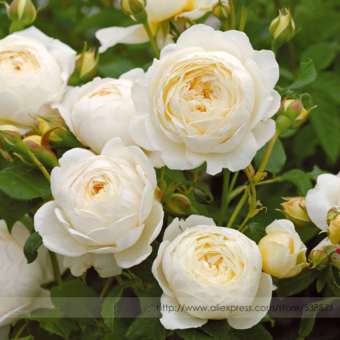 Us 099 imported claire austin rare white shrub rose flower imported claire austin rare white shrub rose flower seeds professional pack 50 seeds pack large fragrant elegant flowers item no nf855 mightylinksfo