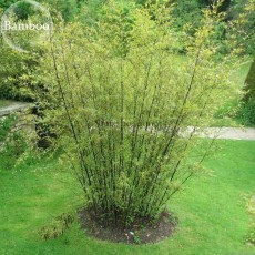 Heirloom 'Xigun' Thin Bonsai Bamboo, 30 Seeds, garden bonsai plants light up your yard E3844