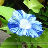 Rare Japan Takii White Blue Stripe Morning Glory Perennial Flower Seeds, Professional Pack 50 Seeds / Pack, Climbing Flower