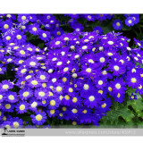 Hybrid F1 Dark Purple Florist's Cineraria (Pericallis hybrida) 40+ High germination 100% True Colors