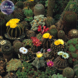 Cacti Cactus - Crown Mix Seeds, 10 seeds, professional pack, a must for home bonsai E4107