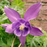 Aquilegia Amethyst. Light Purple Garden Columbine, 50 seeds, beautiful annual flowers E3798